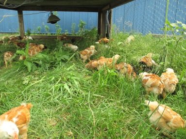 Chicks enjoying thier forage!