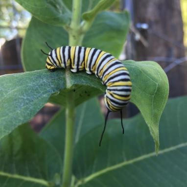 Monarch Catipillar!