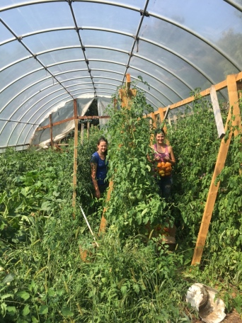 Danielle and Jessica harvesting tomatoes!